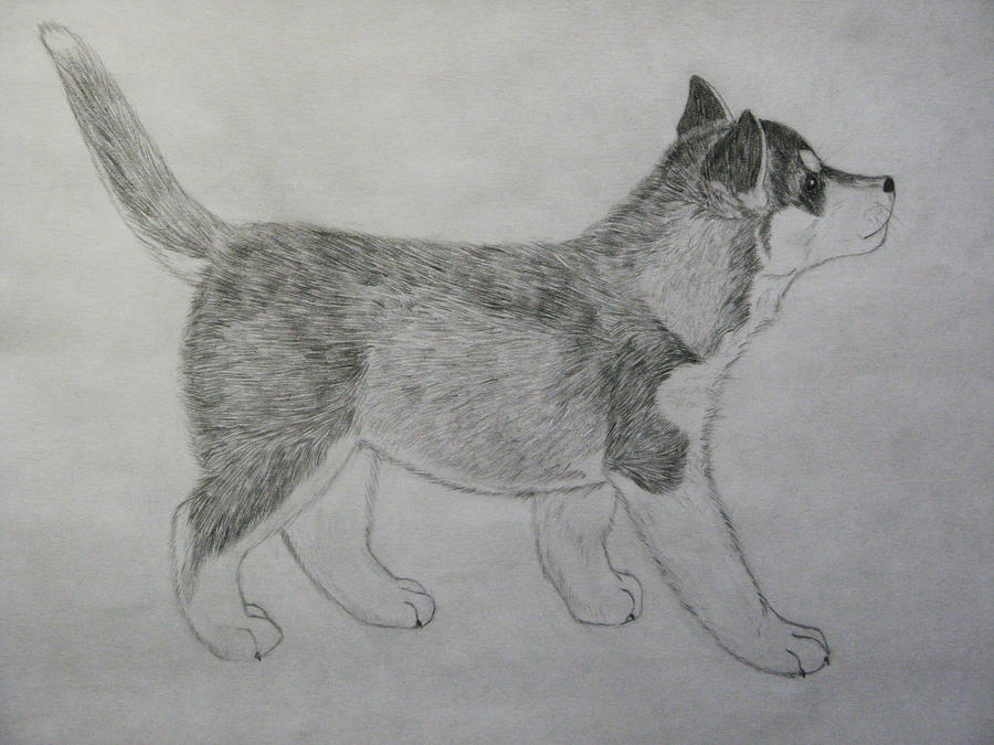 Image Gallery husky puppy drawings
