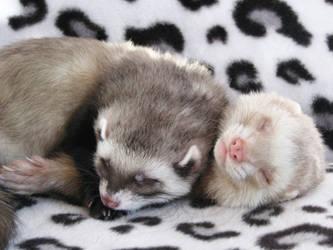 Sleeping ferret angels by Panda-kiddie