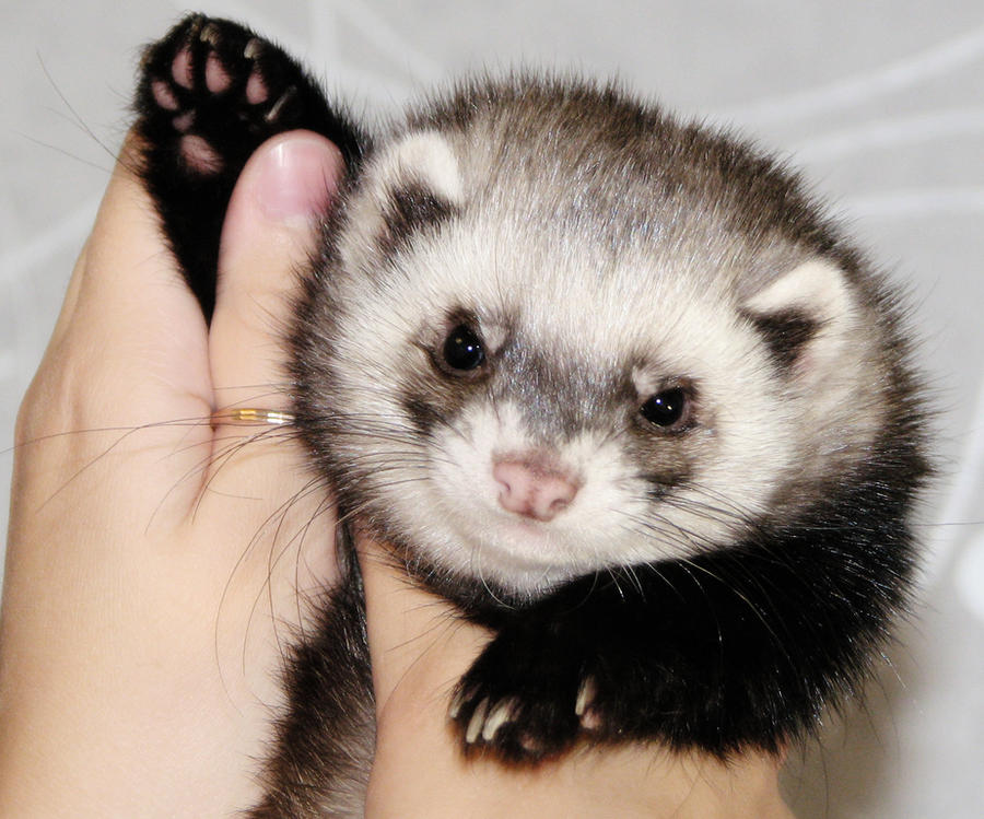 Who is in favor of saving ferrets?