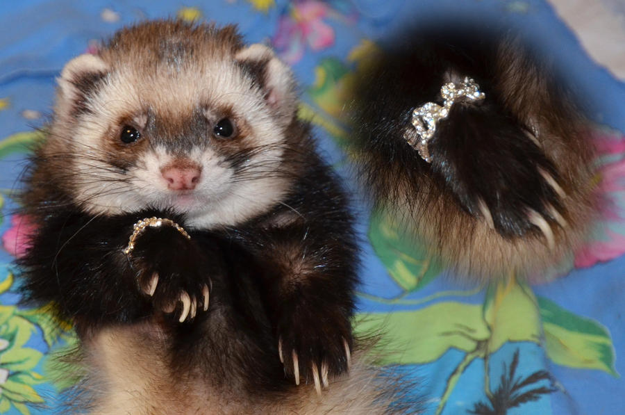 ferret face wallpaper background - photo #28