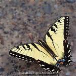 Driveway Butterfly