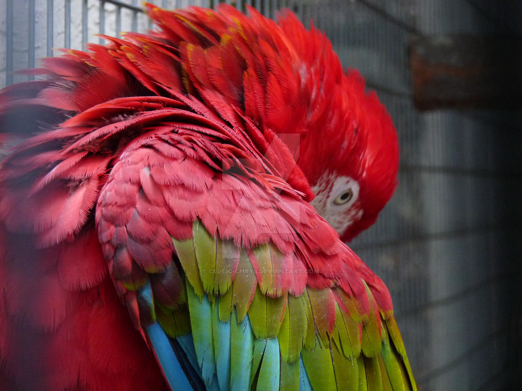 Red Macaw, Preening