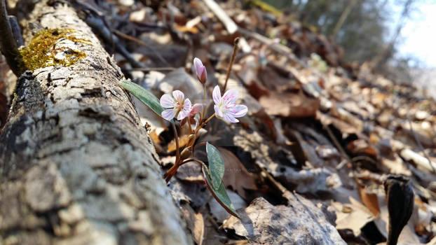Virginia Beauty (Tangle Gut)