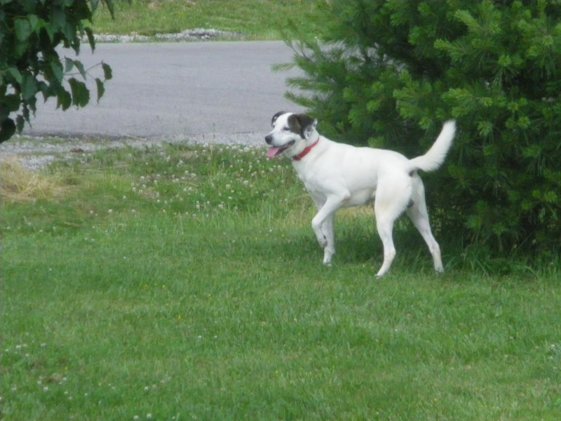 Getting A Second Hound Dog