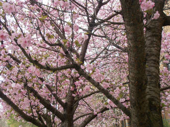 Beautiful Cherry Tree by Lillybelli