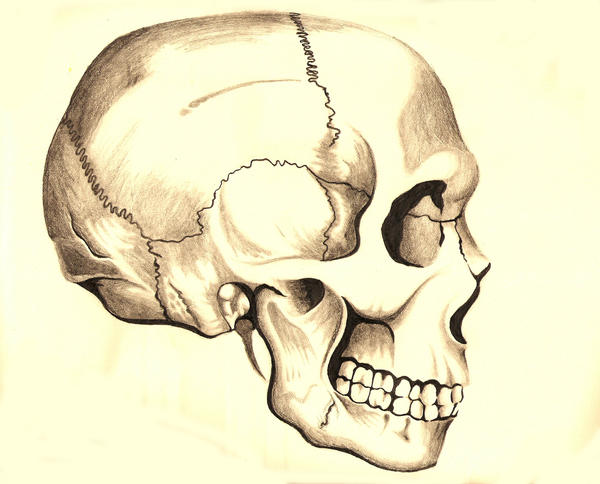How To Draw Human Skull Side View