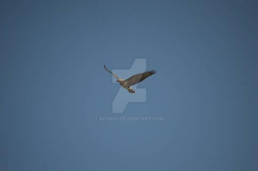 Soaring Eurasian Buzzard