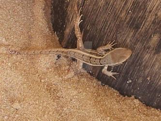 Sandy Lizard of Cuteness