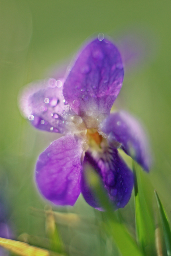 Violet ii. by Lillian-Bann