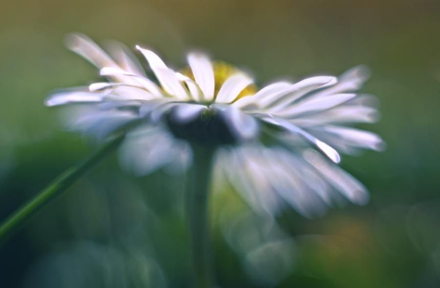 Daisy by Lillian-Bann
