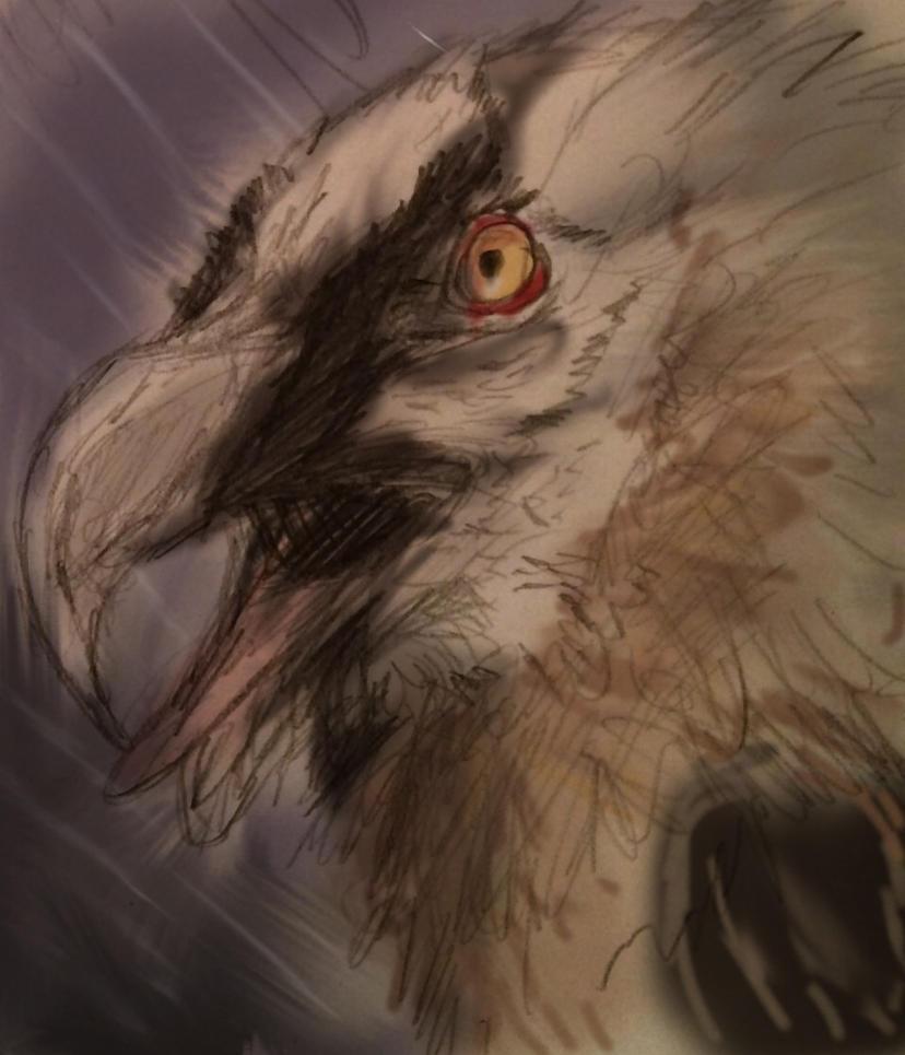 Bearded Vulture by firedanceryote