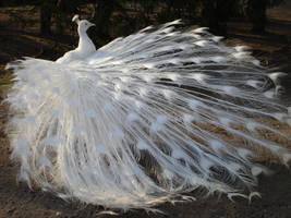 White Peacock 01 by MapleRose-stock