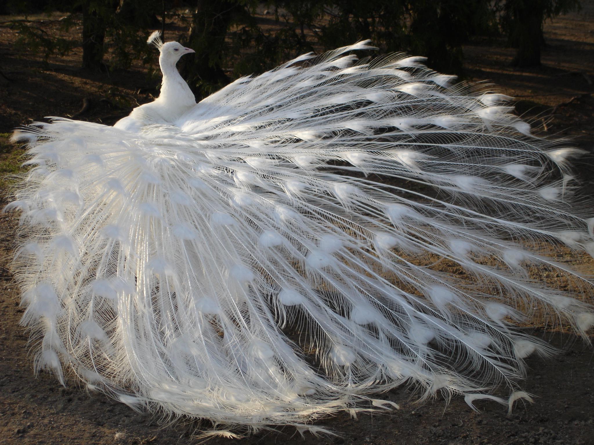 http://fc06.deviantart.net/fs30/f/2008/109/6/0/White_Peacock_01_by_MapleRose_stock.jpg