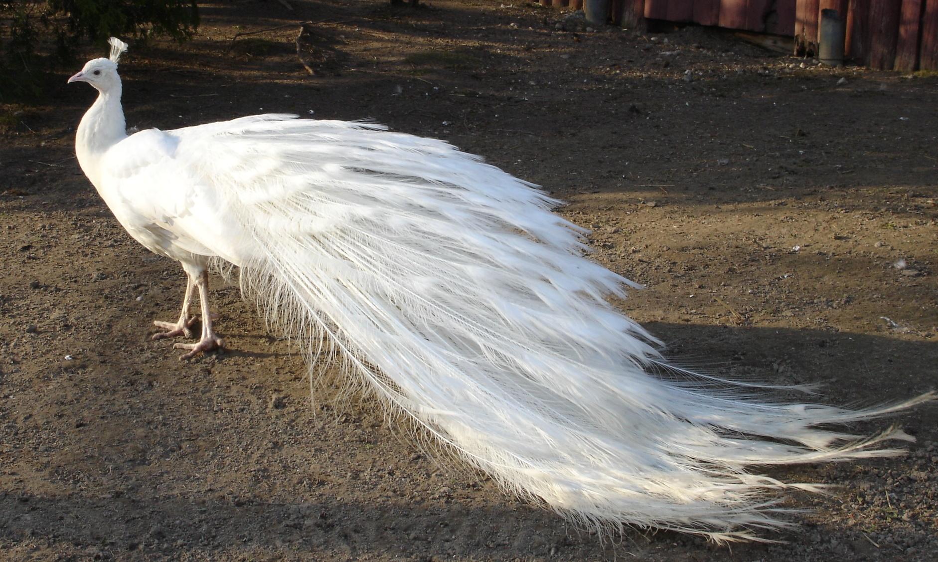 Cute white peacock - photo#21