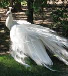 White Peacock 06