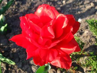 Flower - Tulip 1 by MapleRose-stock