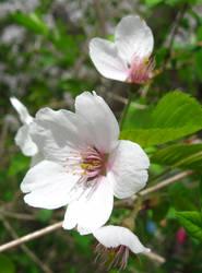Flower - Cherry blossom 1 by MapleRose-stock