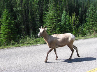 Goat 1 by MapleRose-stock