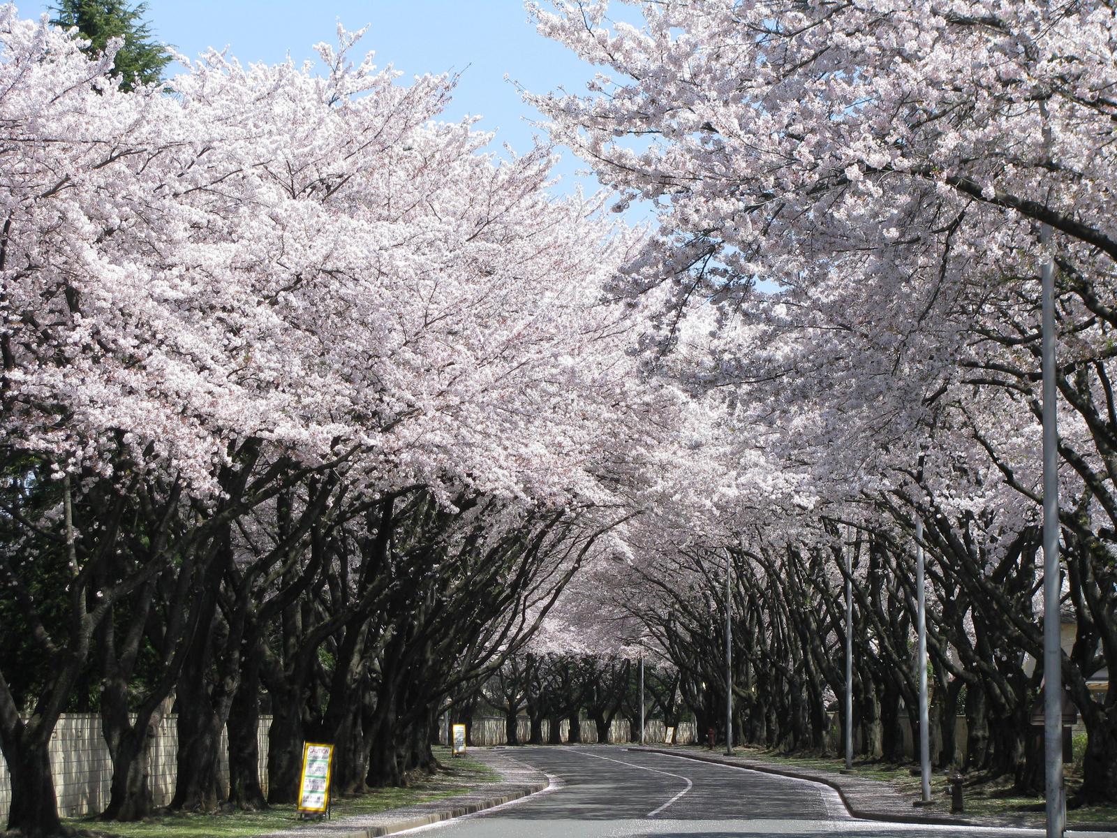 Sakura Blossoms, Yokota AB by Zerogouki