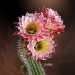 Cactus Flower Pink