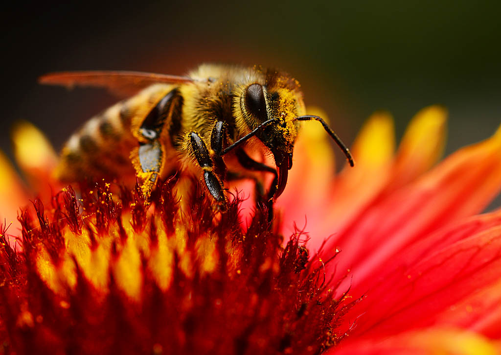 European honey bee by nolra