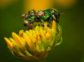 Metallic green sweat bee on a rainy morning by nolra