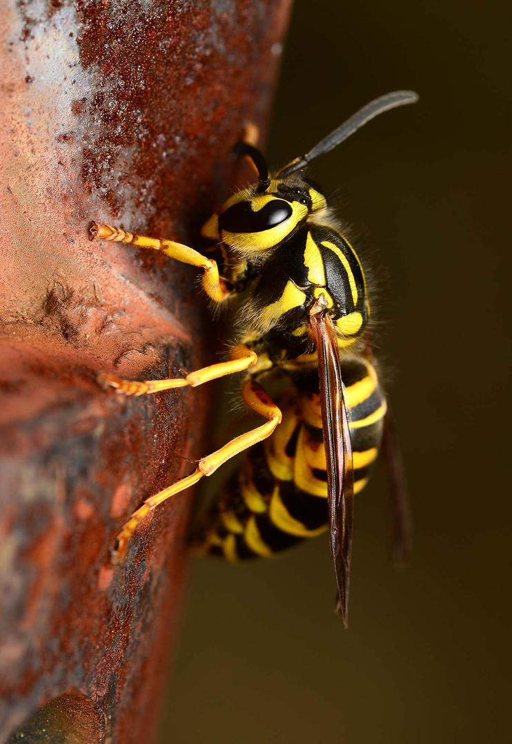 Southern yellowjacket on rust. by nolra