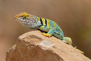 Collared lizard Winslow Arizona by nolra