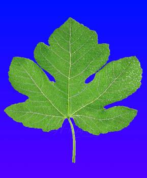 Iray: Fig Leaf