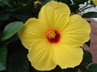 Yellow Hibiscus by Froggirl44