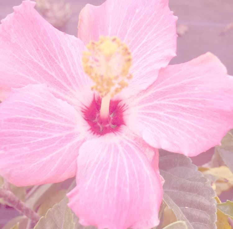 Pink Hibiscus By Effervescent Dream On Deviantart