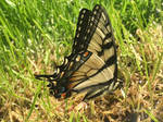 Eastern Tiger Swallowtail by Effervescent-Dream