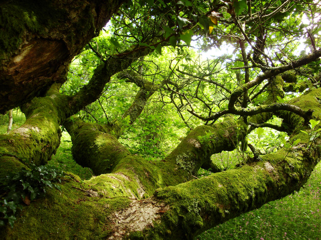 moss covered oak by Estruda