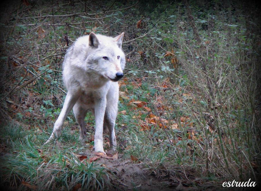 white wolf by Estruda