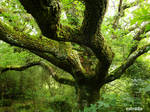 The Mighty Old Oak