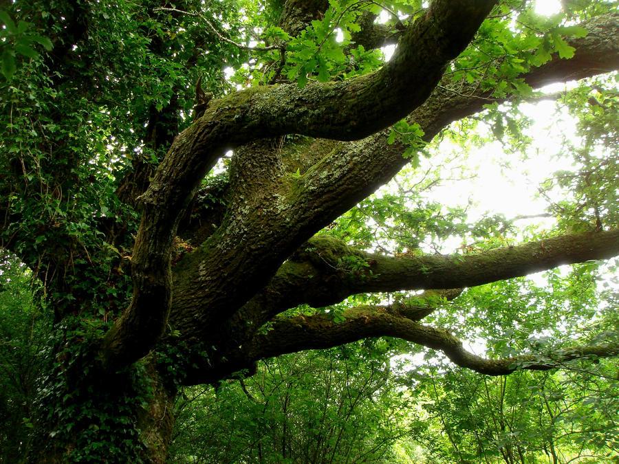 The Oak Octupus by Estruda