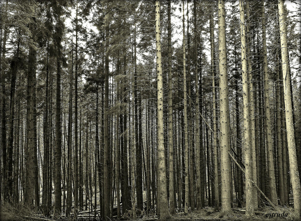 The Pine Forest by Estruda