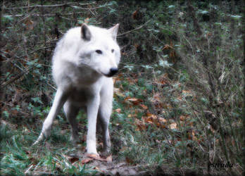 The Magikal White Wolf