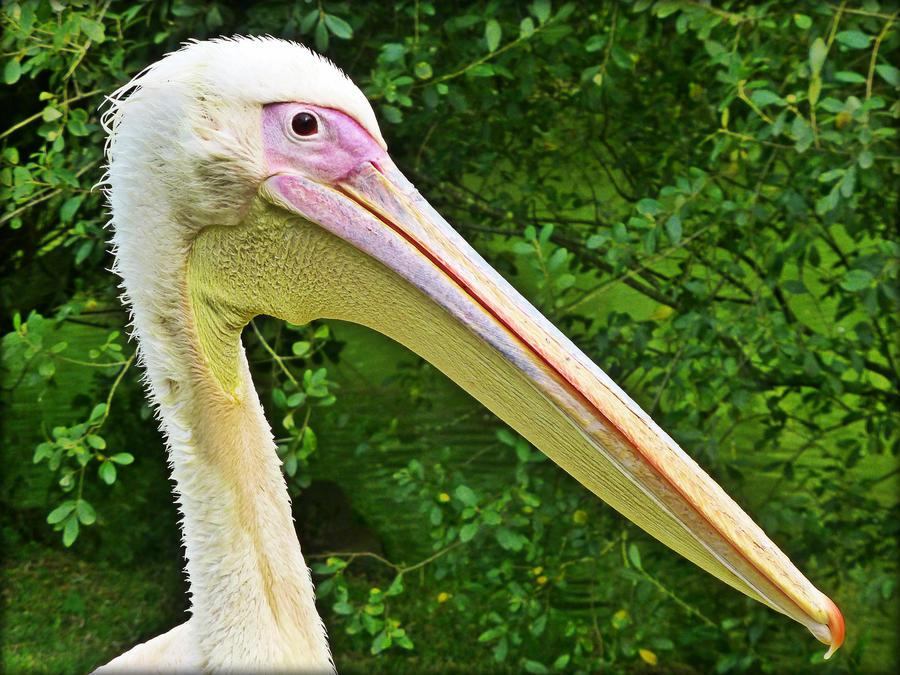 Pelican by Estruda