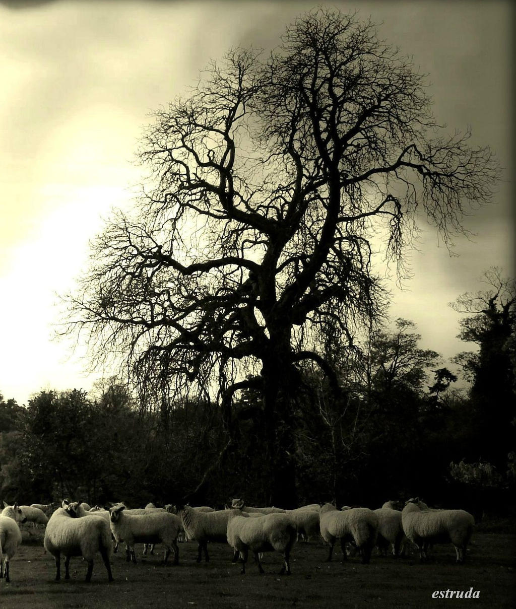 Sheep by Estruda