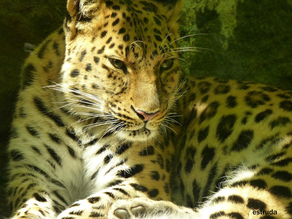 Leopard by Estruda