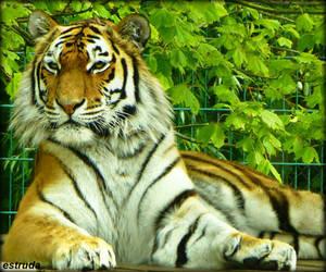 Proud Tiger by Estruda