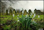 Snowdrops In spring.