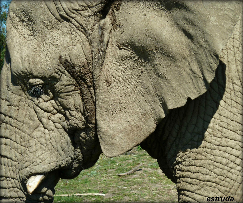 Elephant Portrait by Estruda