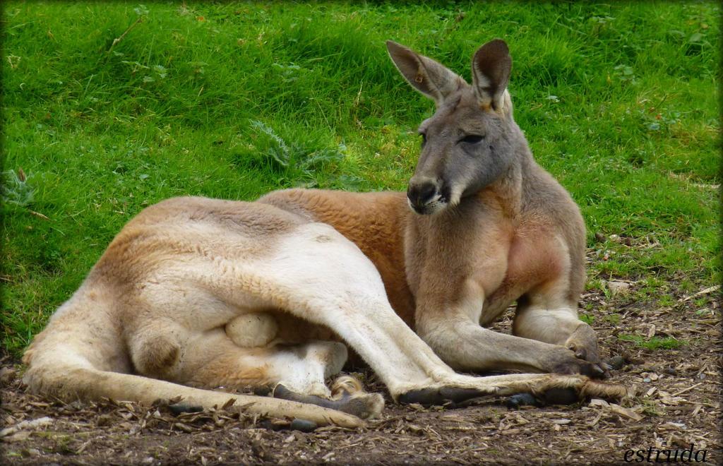 Kangaroo by Estruda