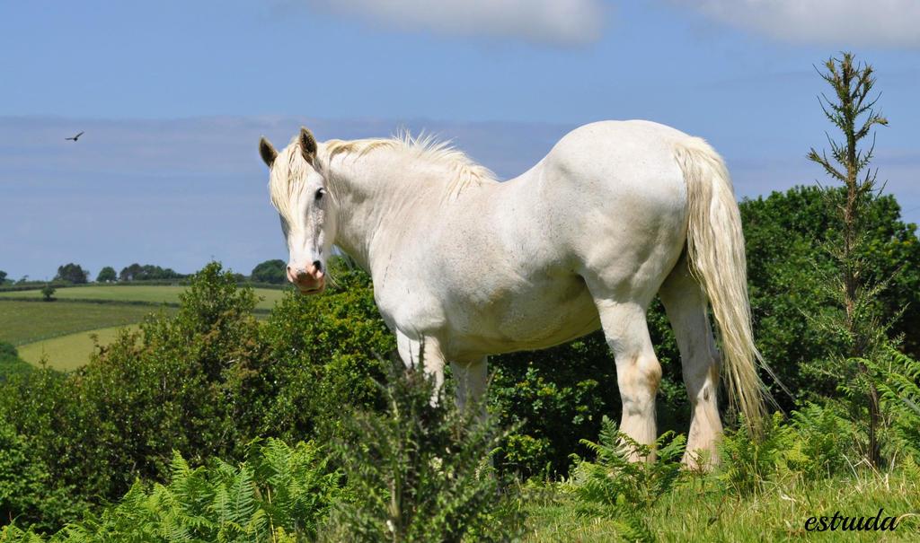The White Shire On Bodmin Moor by Estruda