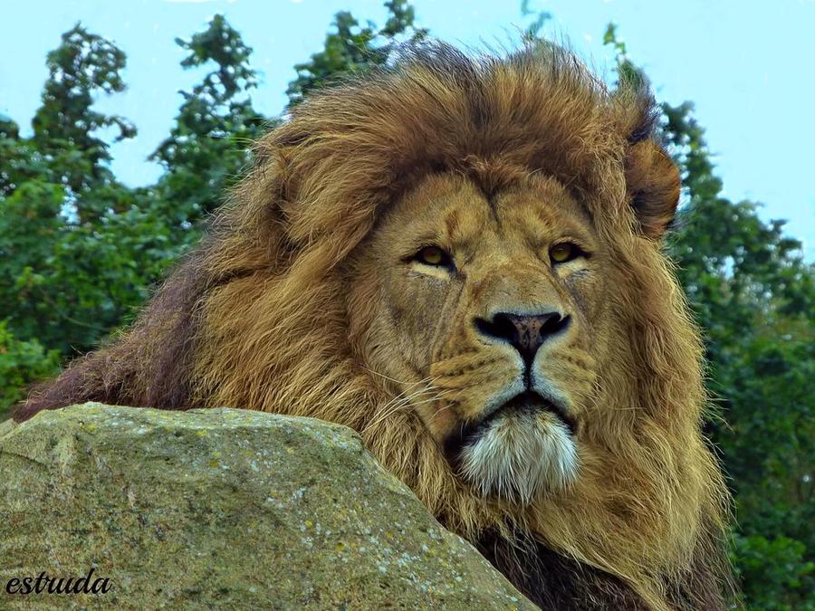 Lion by Estruda