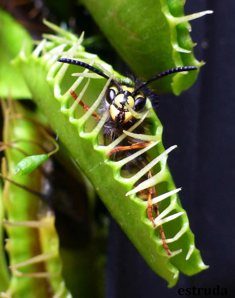 Death By Venus Fly Trap by Estruda