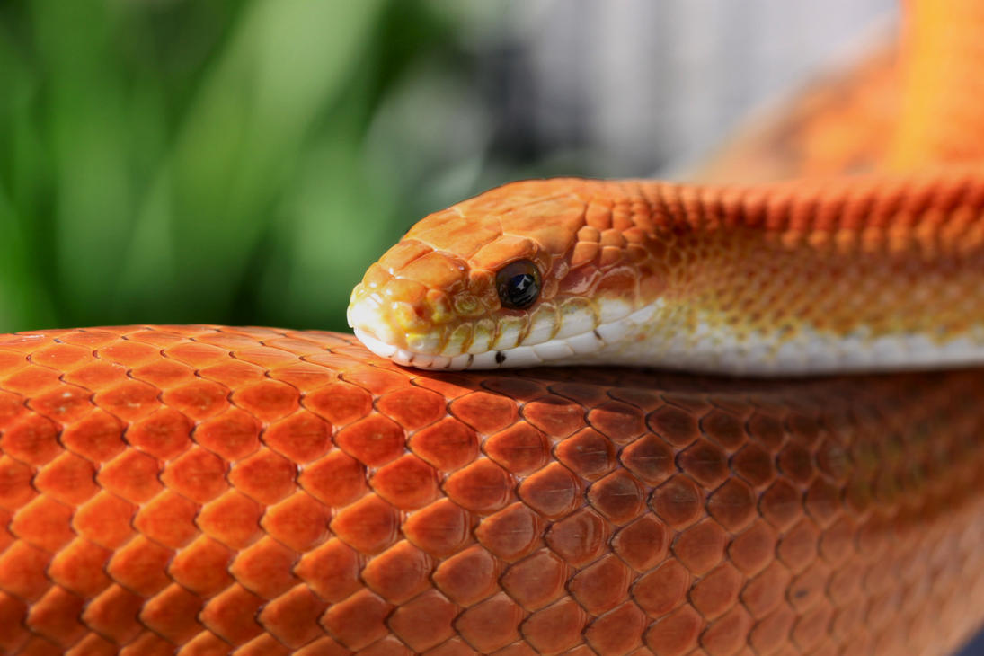 Corn snake red striped