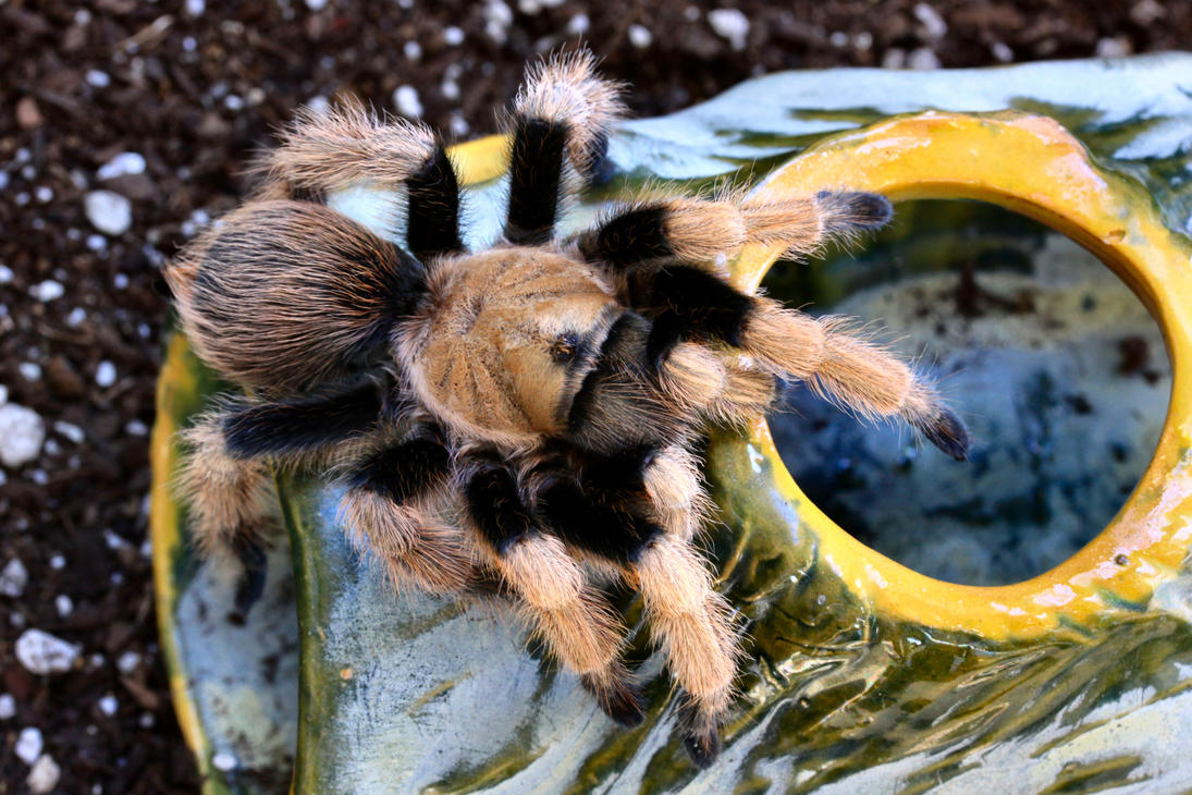 New River Blond Tarantula by Caloxort
